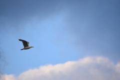 Cajka-bielohlava