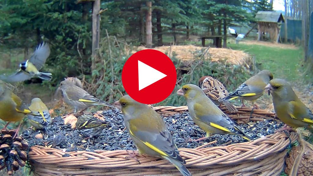 Sledujte živý prenos z vtáčieho kŕmidla v Makově